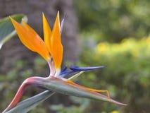 Primo piano del fiore del paradiso fotografie stock libere da diritti
