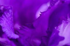 Primo piano del fiore porpora del garofano Fotografie Stock