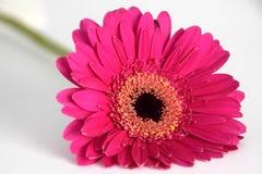 Primo piano del fiore porpora della gerbera contro un fondo bianco Immagini Stock Libere da Diritti