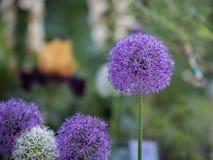 Primo piano del fiore porpora di sensazione dell'allium, cipolla ornamentale Fotografie Stock Libere da Diritti