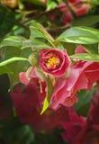 Primo piano del fiore rosa-intenso della camelia Immagini Stock