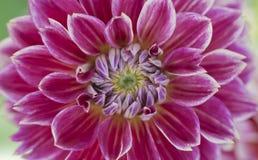 Primo piano del fiore rosa scuro della dalia con i bordi bianchi Immagine Stock