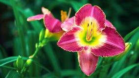 Primo piano del fiore rosso - fiore di //beautiful fotografia stock