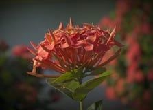Primo piano del fiore rosso di ixora Immagine Stock