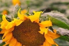 Primo piano del fiore del sole contro un campo giallo verde di estate immagini stock libere da diritti