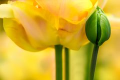 Primo piano del fiore del tulipano immagine stock