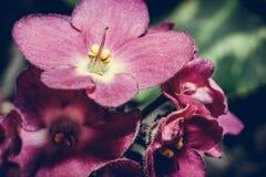 Primo piano del fiore viola Macro foto di un germoglio viola fotografie stock libere da diritti