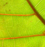 Primo piano del foglio dell'uva del mare immagini stock