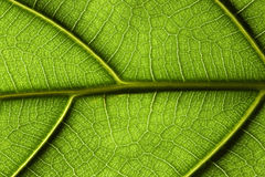 Primo piano del foglio della pianta tropicale Fotografia Stock Libera da Diritti