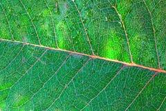 Primo piano del foglio verde Fotografie Stock Libere da Diritti