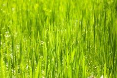 Primo piano del fondo della natura dell'erba verde, luce del giorno Immagini Stock