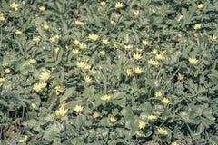 Primo piano del fondo del fiore di cecità notturna fotografia stock