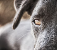 Primo piano 120 del fronte del cane nero Fotografia Stock Libera da Diritti