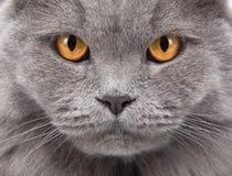Primo piano del fronte del gatto Immagini Stock