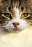Primo piano del fronte del gatto Fotografia Stock Libera da Diritti