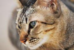 Primo piano del fronte del gatto Immagini Stock Libere da Diritti