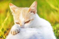 Primo piano del fronte del gatto Fotografie Stock Libere da Diritti
