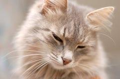 Primo piano del fronte del gatto alla macchina fotografica Immagini Stock