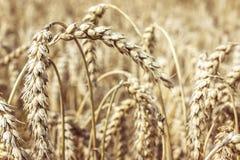 Primo piano del frumento Concetto dell'alimento e del raccolto Campo di frumento Immagine Stock