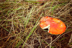 Primo piano del fungo dell'agarico di mosca Fotografie Stock Libere da Diritti