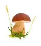 Primo piano del fungo della foresta Immagini Stock