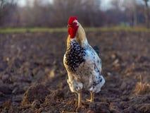Primo piano del gallo variopinto sull'azienda agricola fotografia stock libera da diritti