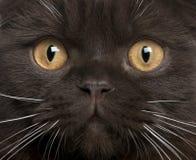 Primo piano del gattino del popolare dello Scottish Fotografia Stock Libera da Diritti