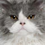 Primo piano del gattino di Selkirk Rex Immagini Stock