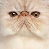 Primo piano del gattino persiano Fotografie Stock