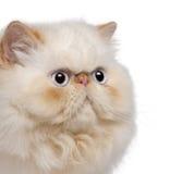 Primo piano del gattino persiano, 5 mesi Immagine Stock Libera da Diritti