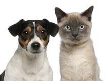 Primo piano del gattino siamese, 6 mesi Fotografia Stock Libera da Diritti