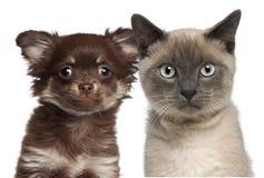 Primo piano del gattino siamese, 6 mesi Fotografia Stock