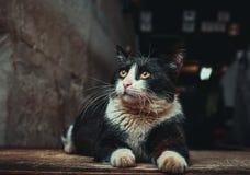 Primo piano del gatto Immagini Stock Libere da Diritti