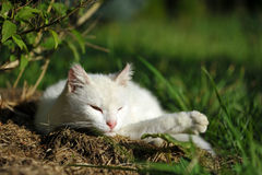 Primo piano del gatto bianco Immagine Stock