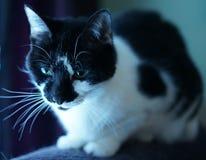 Primo piano del gatto in bianco e nero dello smoking Fotografia Stock Libera da Diritti