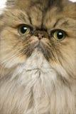 Primo piano del gatto britannico dello shorthair, 11 mese Immagini Stock Libere da Diritti