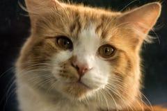 Primo piano del gatto dello zenzero Immagine Stock Libera da Diritti