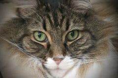 Primo piano del gatto di Coon della Maine Immagini Stock