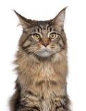 Primo piano del gatto di Coon della Maine, 7 mesi Fotografia Stock Libera da Diritti