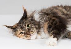 Primo piano del gatto di procione lavatore cresciuto della Maine Immagine Stock Libera da Diritti
