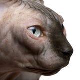 Primo piano del gatto di Sphynx, 1 anno Fotografia Stock Libera da Diritti