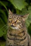 Primo piano del gatto di Tabby Immagine Stock