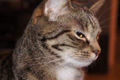 Primo piano del gatto domestico - sideview Immagini Stock Libere da Diritti