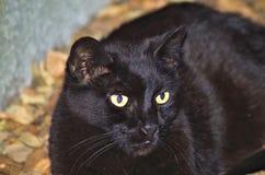 Primo piano del gatto nero Immagini Stock Libere da Diritti