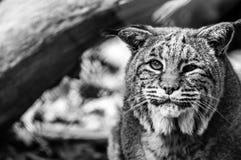 Primo piano del gatto selvatico con le cataratte, in bianco e nero Fotografia Stock