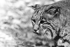 Primo piano del gatto selvatico con le cataratte, in bianco e nero Immagini Stock