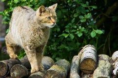 Primo piano del gatto selvatico europeo Immagine Stock Libera da Diritti