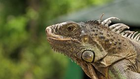 Primo piano del geco della lucertola in fauna selvatica della Tailandia video d archivio