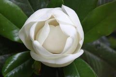 Primo piano del germoglio della magnolia Immagine Stock Libera da Diritti