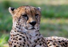Primo piano del ghepardo Fotografie Stock Libere da Diritti